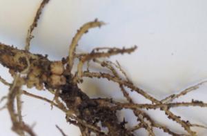 Soybean Root Nodulation