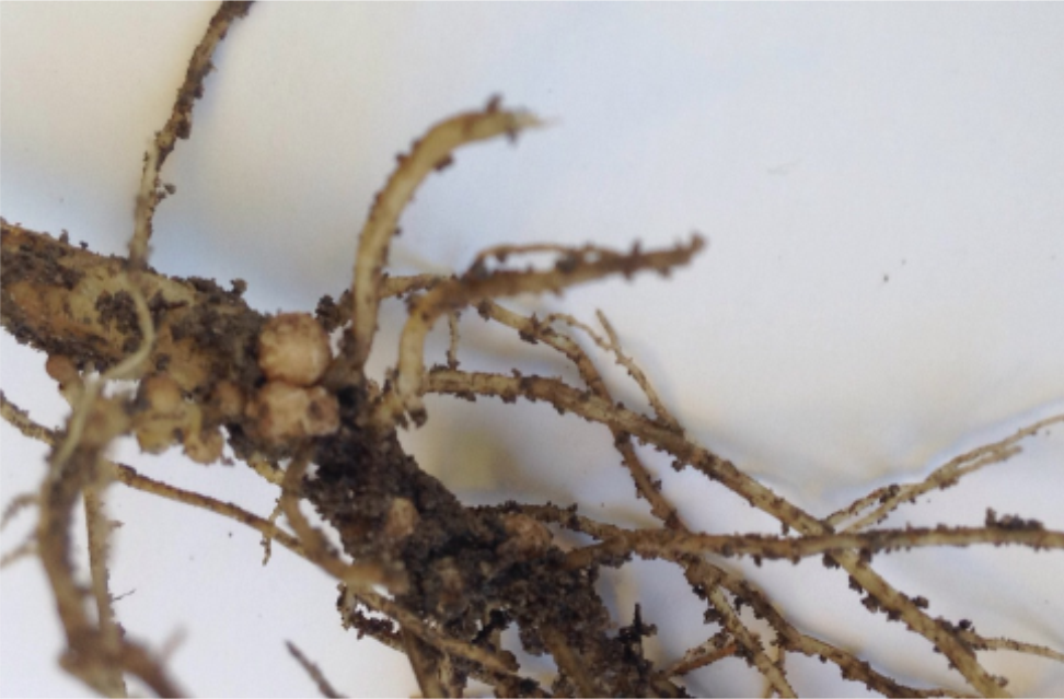 Soybean Root Nodulation