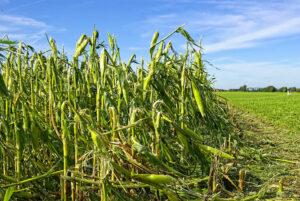 Damanged Corn Field from Hail